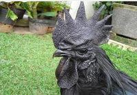 Musta kukko perseestä