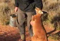 Pikku kenguru ei tahdo päästää irti