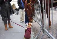 Koira tapaa hevosen