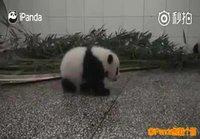 Pandalla hikka