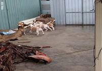 Koirien ulkoiluttamista