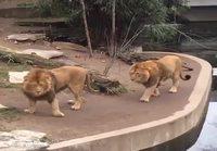 Leijona pulahtaa