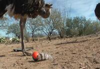 Emui ja strutsei