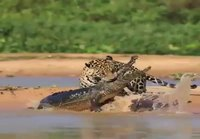 Jaguaarille kaimaania lounaaksi