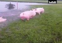 Pekonit polskuttelee tulvavesissä