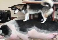 Koira yrittää herättää amerikkalaista omistajaansa