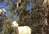 Tree of goats!?