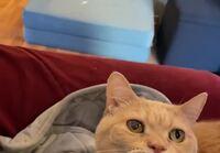 Kissaa aivastuttaa ja pyytää peittoa päällensä.