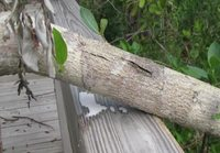 Meet the world's most dangerous tree - the deadly Manchineel.