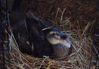 Broody Betty the duck