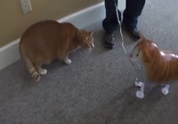 Kissa pamauttaa pallon