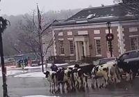 Lehmät tippu kyydistä