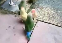 Papukaijat pelaa koripallo