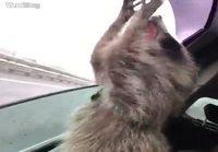 Pesukarhu koittaa napata ilmaa