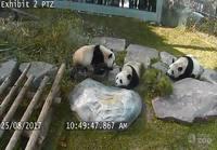 Pandat tipahtelee
