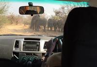 Norsut jahtaa safarilla
