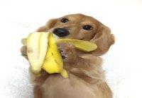 Banaania mäyräkoiralle