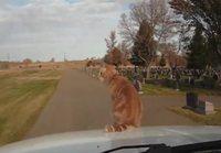 Peloton kissa matkustaa auton kyydissä
