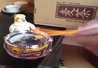 Papukaija tahtoo kanssa rummuttaa