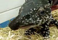 Pikkuiselle tapiirille rapsuja
