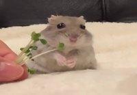 Hamsteri tykkää parsakaalin versoista