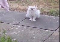 Oudon näköinen kissa tuijottaa