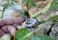 Kolibri ja sen pesä.