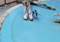 Pingviini jahtaa perhosta