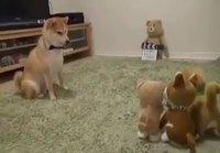 Pelottava lelu aiheuttaa ihmetystä koiralle