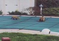 Ketunpennut leikkivät uima-altaan peiton päällä
