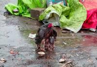 Äitikana suojelee poikasiaan sateelta