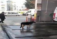 Koira menee rapsutettavaksi