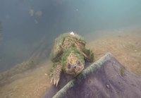 Vanha näykkijäkilpikonna tulee morjenstamaan sukeltajaa