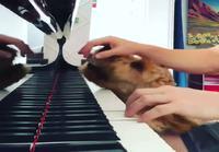 Koira vaatii huomiota pianonsoittajalta