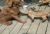Koira syöttää kiliä