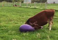 Vasikka ja jumppapallo