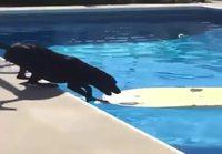Koira noutaa pallon altaasta