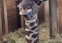 Suloinen pikku kirahvi ilmeilee