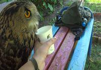 Pöllö hörppii vettä mukista