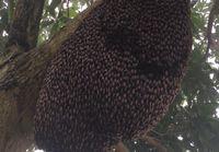 Mehiläisten puolustautumiskeino saalistajia vastaan