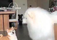 Koirien ulvominen