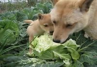 Koirien salaattihetki