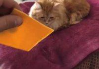 Kissa vs juustosiivu