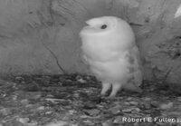 Pöllö kuulee ukkosen ensimmäistä kertaa
