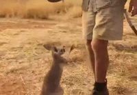 kengurun poikanen tahtoo pussiin