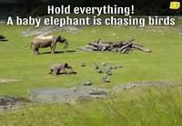 Elefantin poikanen jahtaa lintuja