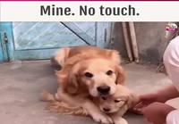Isäkoira suojelee koiratytärtään