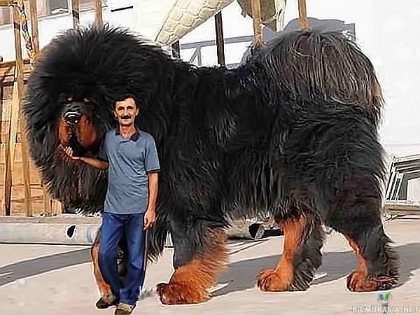 Maailman Isoin Koira