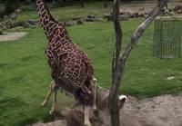 Kudu hyökkää Kirahvin kimppuun