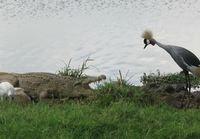 Lintu vs. Krokotiili